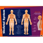 Poster - Our Body Skeletal System