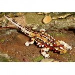 Thorny Devil Figurine