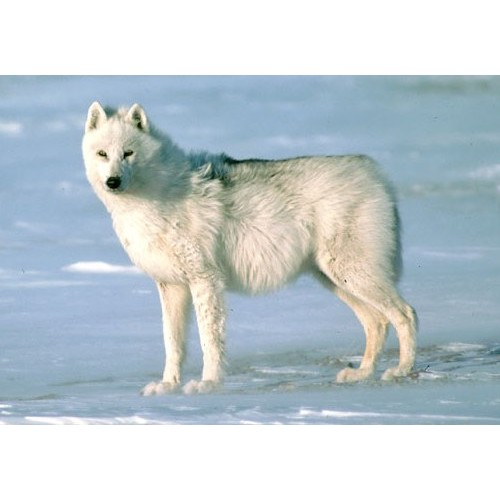 Wild Life Arctic wolf Schleich 14742
