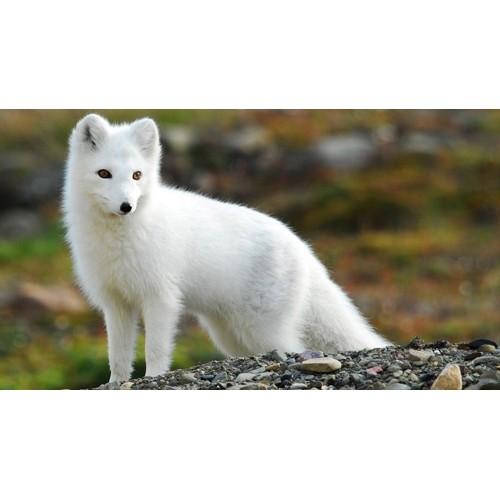 Schleich 14805 Arctic Fox