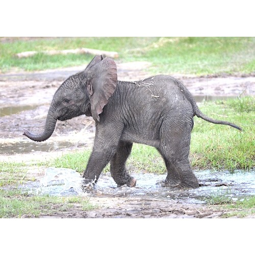 African Elephant Toys For Boys : Elephant african calf schleich from who what why