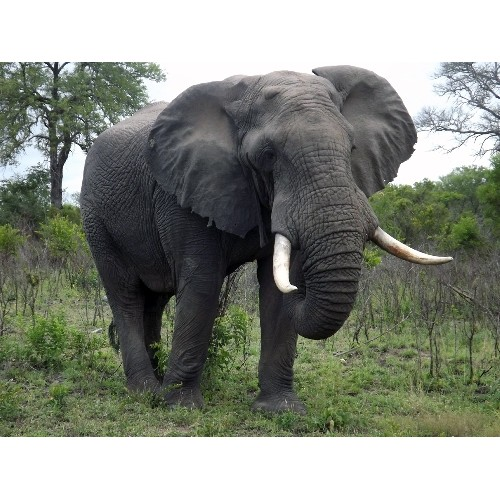 African Elephant Toys For Boys : Elephant african male schleich new in