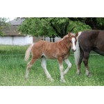 Horse - Black Forest Foal - Schleich Farm 13897 - NEW for 2020