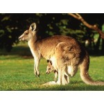 Kangaroo with Joey - Schleich 14756
