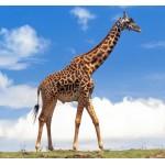Giraffe Male - Schleich 14749